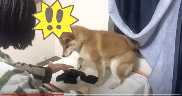 Adorable Shiba Inu gives the best response to owner's magic trick【Video】