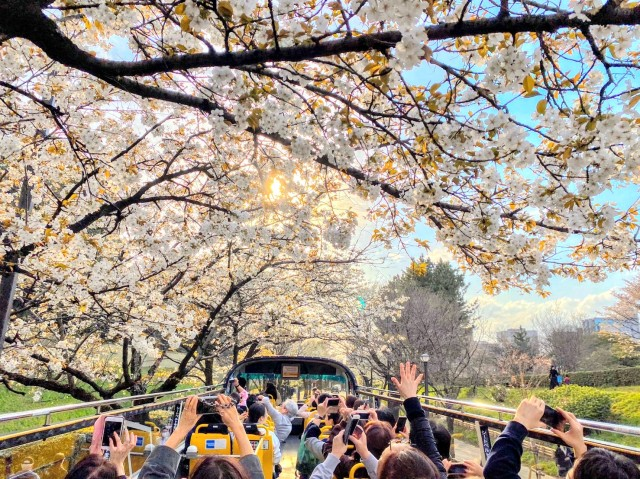Hanami on the go — Take a whirlwind bus tour of the best cherry blossom spots in Tokyo