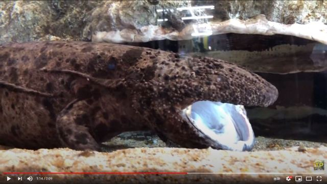 Largest Japanese giant salamander dies, aged…Maybe 70 or so?