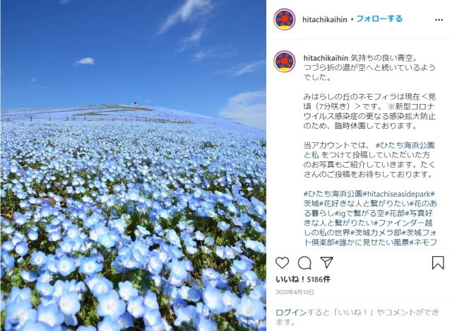 Blue heaven as Nemophila flowers come into bloom in Japan's Ibaraki Prefecture【Photos】