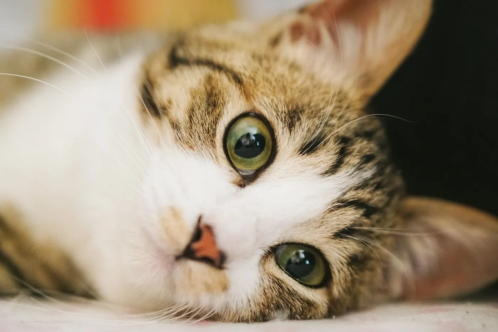 Japanese Cat Owner Sells Car to Pay for Cat's Surgery