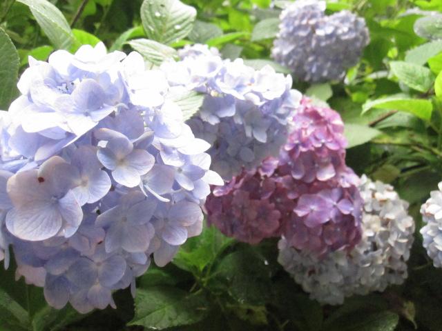 The case of Hyde's stolen hydrangea in Wakayama City