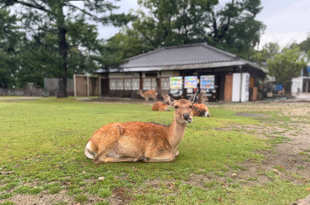 Deer in Nara Park mysteriously disappear during this year's shikadamari season