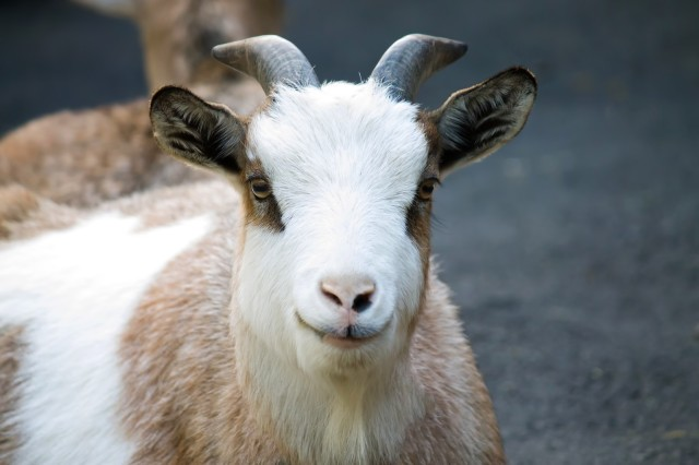 Stay weed-free with the help of goats — Japanese farm offers eco-friendly alternative to mowing